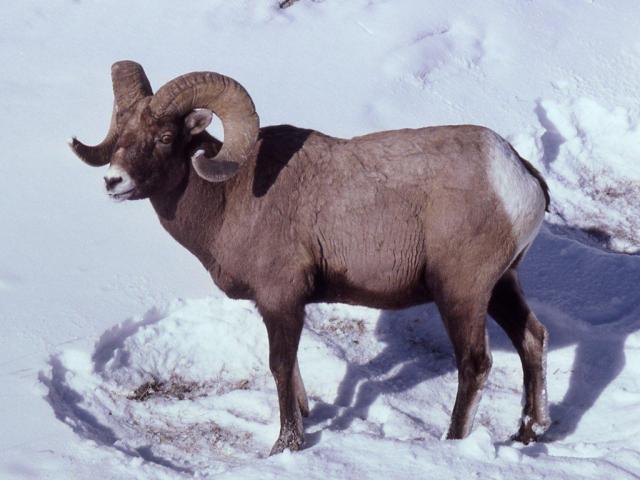 dickhorn schafsbock im schnee stehend in tiere schafe und ziegen auf. Black Bedroom Furniture Sets. Home Design Ideas